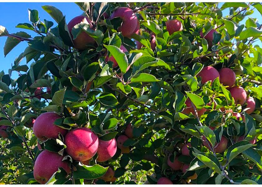 Feature - Eastern apple crop is snapping to it in 2021
